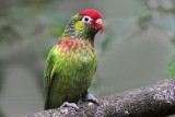 Varied Lorikeet - Psitteuteles versicolor - NT