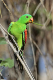 Red-winged Parrot - Aprosmictus erythropterus - NT