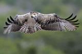 Osprey juvenile one day before fledging - hovering above nest