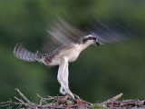 Osprey juvenile one day before fledging - wing flapping