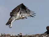 Osprey fledgling - first take off