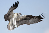 Osprey - fledging day - 1st flight: landing - Flight #1 of 11