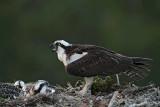 Osprey fledgling - first night after fledging