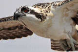 Osprey fledgling - other first day flights