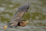 Striated Heron - Butorides striata - NT