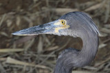 Great-billed Heron - Ardea sumatrana - NT