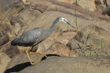 White-faced Heron - Egretta novaehollandiae - NT