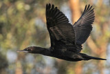 Little Black Cormorant - Phalacrocorax sulcirostris - NT