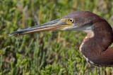 Tricolored Heron - juvenile hunting dragonflies