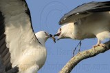 Swallow-tailed Kite feeding juveniles 080710