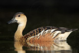 Wandering Whistling-Duck - Dendrocygna arcuata - NT