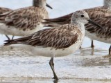 Great Knot - Calidris tenuirostris - NT