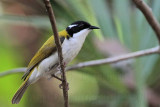 White-throated Honeyeater - Melithreptus albogularis - NT