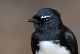 Willie Wagtail - Rhipidura leucophrys - NT