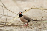 Long-tailed Finch - Poephila acuticauda - NT