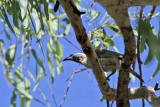 Silver-crowned Friarbird - Philemon argenticeps - NT