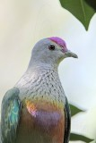 Rose-crowned Fruit-Dove - Ptilinopus regina - NT