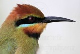 Rainbow Bee-eater - Merops ornatus - NT