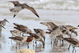 Red Knot - Calidris canutus - NT
