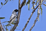Black-faced Cuckoo-shrike - Coracina novaehollandiae - NT