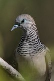 Peaceful Dove - Geopelia striata - NT