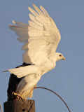 Leucistic Red-tailed Hawk - Katy - Texas - fall 2010