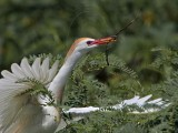 Cattle Egret - nest building material - summer 2010