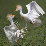 Cattle Egret - fights - summer 2010