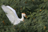 Cattle Egret - breeding plumage - summer 2010