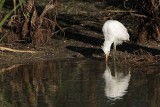 Cattle Egret - living among alligators - juvenile drinking & hunting