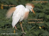 Cattle Egret plumes – nomenclature