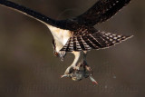 First record of Osprey taking blue crab
