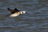 Long-tailed Duck Texas January 2011