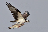 Osprey with 44cm Spotted Seatrout