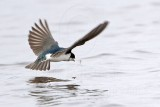 Tree Swallow foraging - Brazoria NWR January 15, 2011