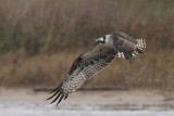 Osprey - Hunting in the rain