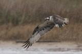 Osprey - Hunting in the rain