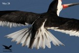 Black Skimmer - molt discussion