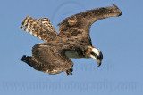 Osprey -Watching prey