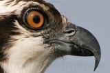 Osprey - Unique adaptation - Closable nostrils