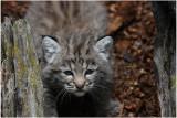 bébé lynx roux 1  -   baby bobcat.JPG