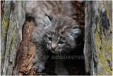 bébé lynx roux 2  -   baby bobcat.JPG