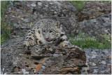 panthère des  neiges 1 -   snow leopard.JPG