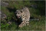 panthère des neiges 6 -  snow leopard.JPG