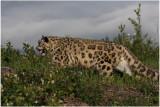 panthère des neiges 7 snow leopard.JPG