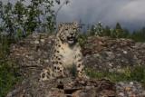panthère des neiges 8 -  snow leopard.JPG