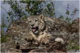 panthère des neiges 9 -  snow leopard.JPG