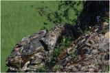 panthère des neiges 10 -  snow leopard.JPG