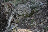 panthère des neiges 14 snow leopard.JPG