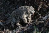panthère des neiges 15 -   snow leopard.JPG